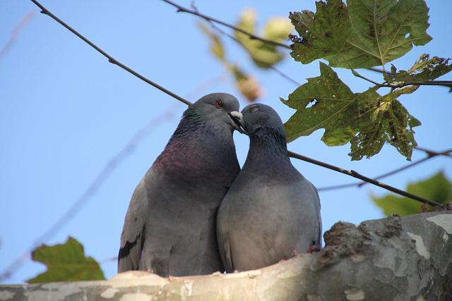 夫婦の鳩の画像