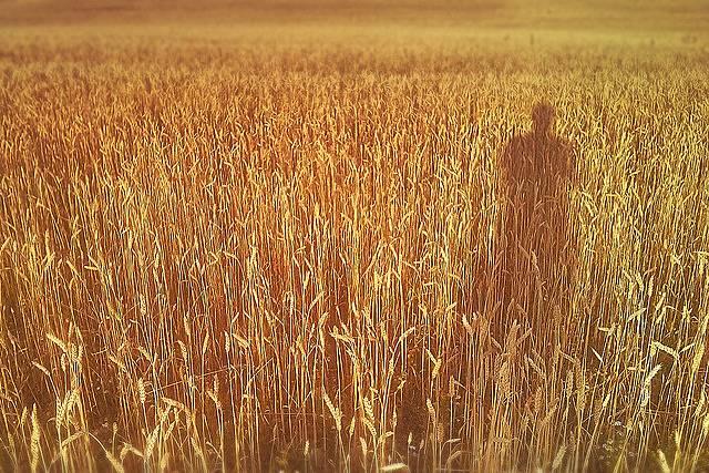 ライ麦畑の写真